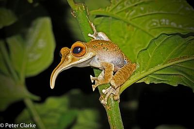 Elephant Tree Frog