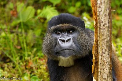 Beared Golden Gorilla